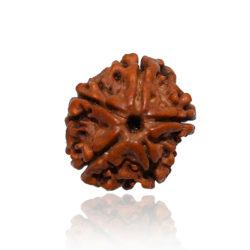 5 Faced Rudraksha Bead